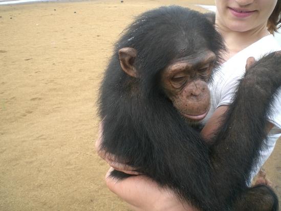 chimpanzes-ile-pongo-1