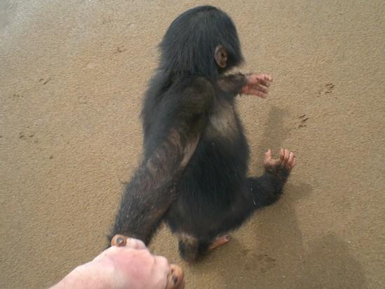 chimpanzes-ile-pongo-3