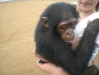 Les chimpanzés de «Papaye France» vous attendent au Cameroun