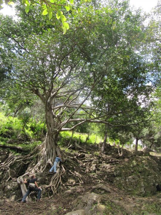 palopo, arbre ceremonial