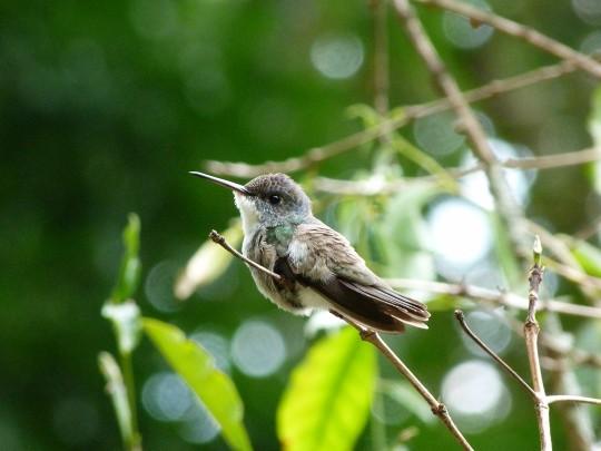 Colibri à couronne azur