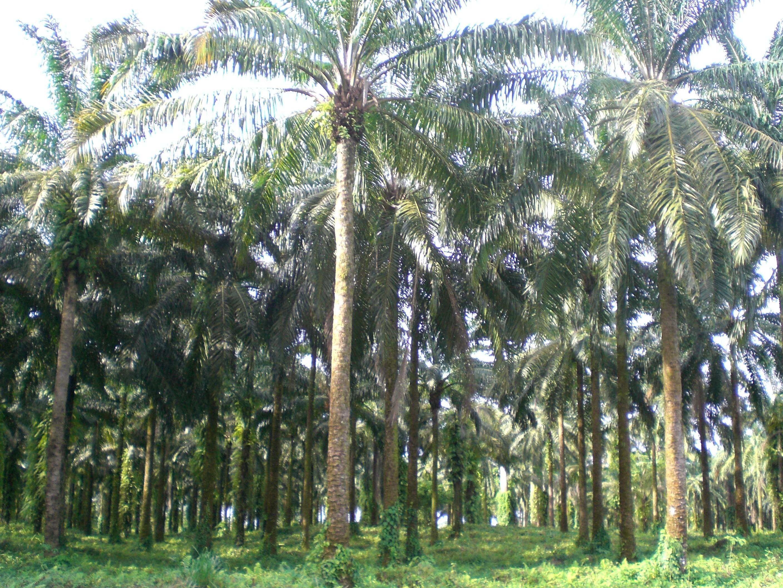 Champ de palmiers dans la fôret communale de Limbé