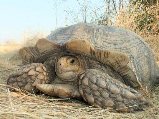 La tortue Sulcata