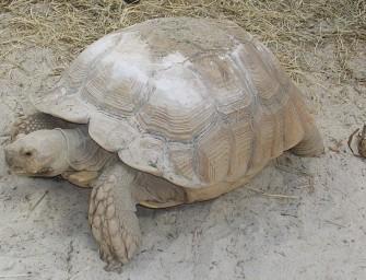 Avec SOS Sulcata, protection des tortues et développement communautaire vont de pair