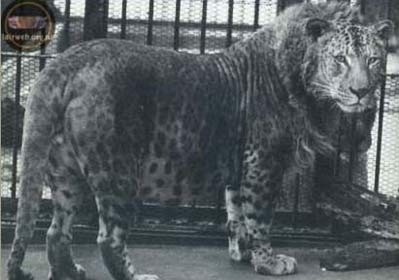 japanese_leopon