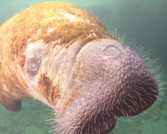 Morse ou éléphant de mer