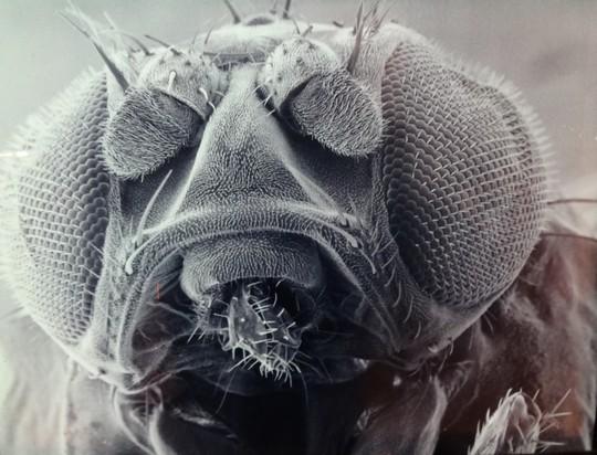 Mouche microscopique
