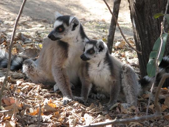 http://www.voyageurs-du-net.com/wp-content/uploads/2013/05/eco-tourisme-madagascar-nature-lemur-catta.jpg.jpg