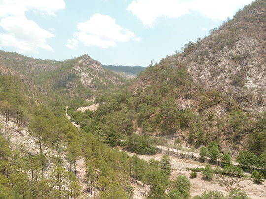 Forêt de pins traversée par el Chepe