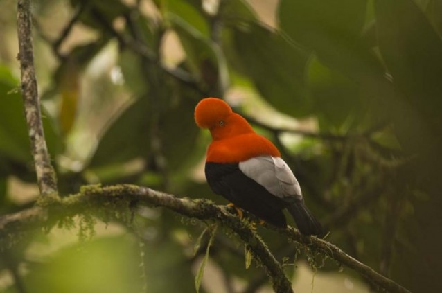 Santa Lucia en Equateur, Coq de Roche