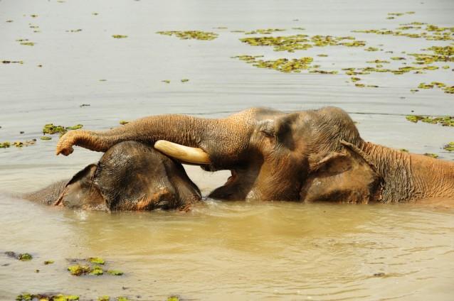 Couple sauvage d'éléphants du Laos