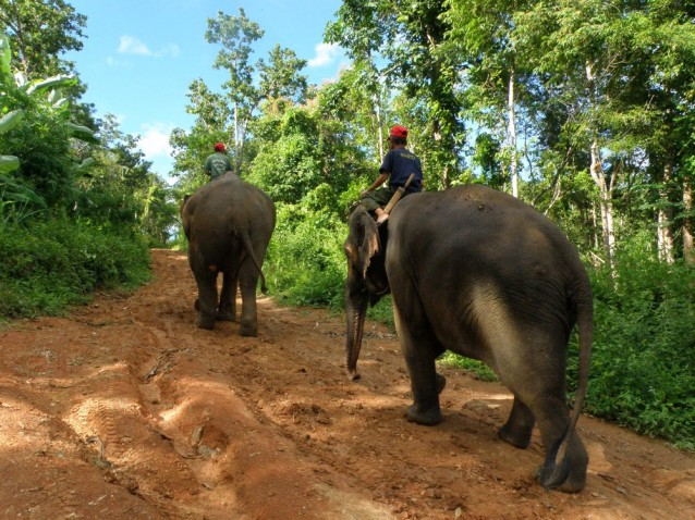L'éléphant du Laos est un très bon moyen de transport en forêt