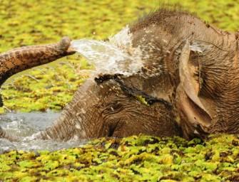 Les éléphants au Laos : sauvages ou domestiqués, l'espèce est toujours en péril
