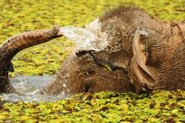 La trompe de l'éléphant d'Asie lui est utile pour de nombreuses activités