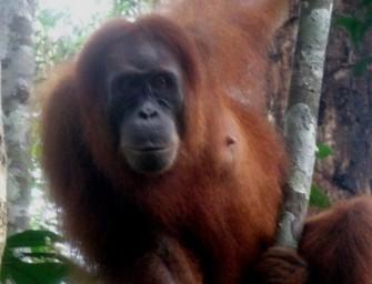 A Sumatra, un éco-trek au pays des orangs-outans