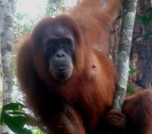 http://www.voyageurs-du-net.com/wp-content/uploads/2013/12/trek-tourisme-ecologique-orangs-outans-sumatra.jpg