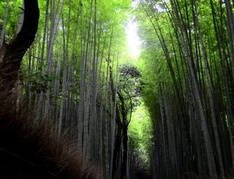 La forêt de bambou d'Arashiyama (Kyōto)