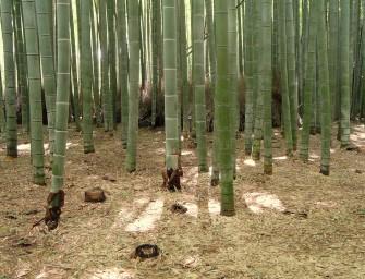 foret-bambou-japon-insolite-kyoto-sangano-10-Daderot