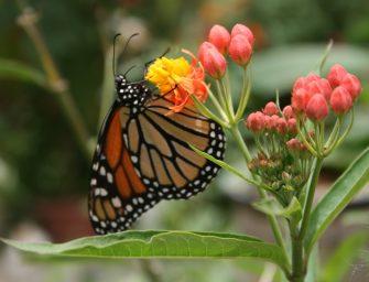 Lac Atitlán : papillon de la Reserva Natural Atitlán (crédit : Claudia Downey)