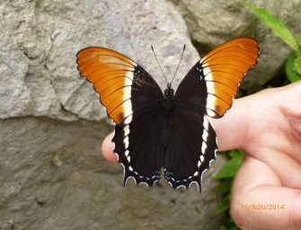 Lac Atitlán : papillon de la Reserva Natural Atitlán (crédit : Bertrand Lasseguette)