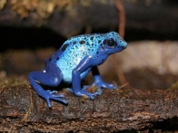 07-grenouille-bleue-empoisonnee