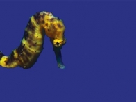 hippocampe-jaune