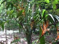 voyage-guatemala-posada-del-cerro-07_xate_con_fruto-jpg