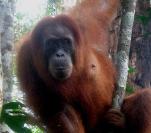 https://www.voyageurs-du-net.com/wp-content/uploads/2013/12/trek-tourisme-ecologique-orangs-outans-sumatra.jpg